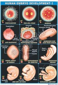 HA-24_Embryo development Final - CC