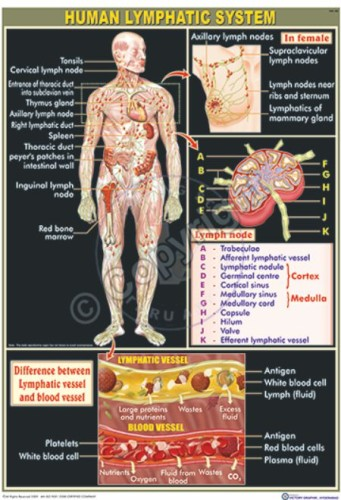 HA-28_Human Lymphatic System Final - CC