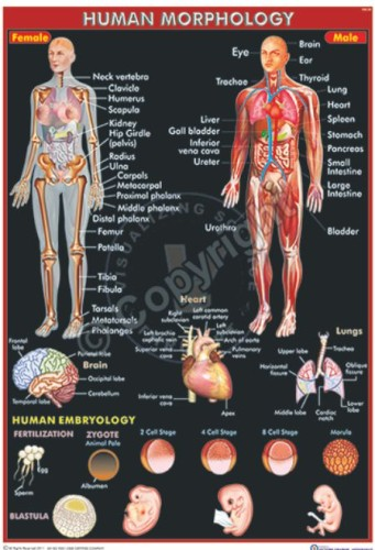 HA-30_Human Morphology - CC