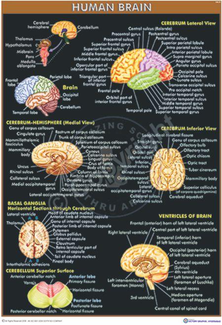HA-31 Brain CC