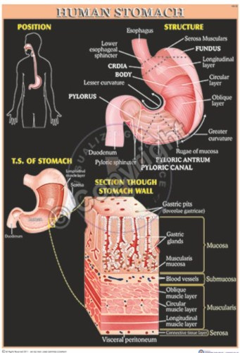 HA-32_HUMAN STOMACH - CC