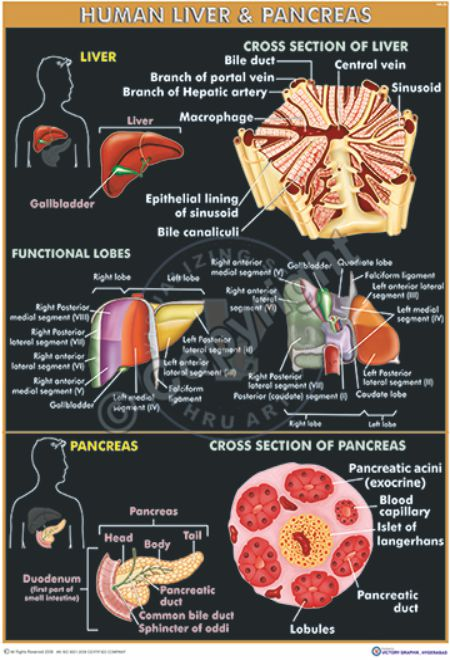 HA-33 liver & pancreas