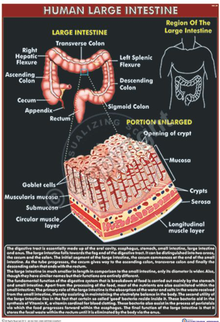 HA-34_LARGE INTESTINE - CC