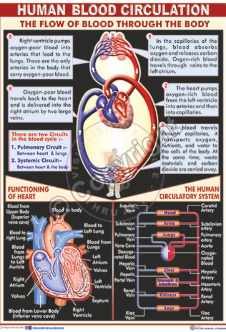 HA-3_Human blood circulation