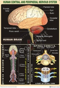 HA-4_Human central& peripheral Nervous Brain