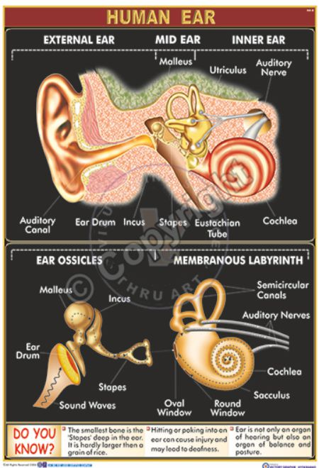 HA-8_Human Ear - Final - CC