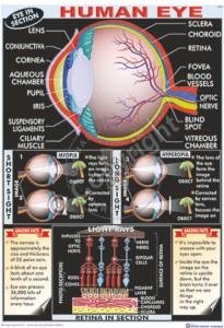 HA-9_Human Eye Final - CC