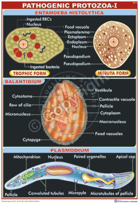 MB-10_Pathogenic protozoa - I - CC