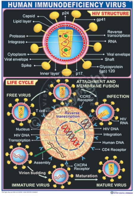 MB-12 HIV STRUCTURE AND LIFE CYCLE N- 01 CC