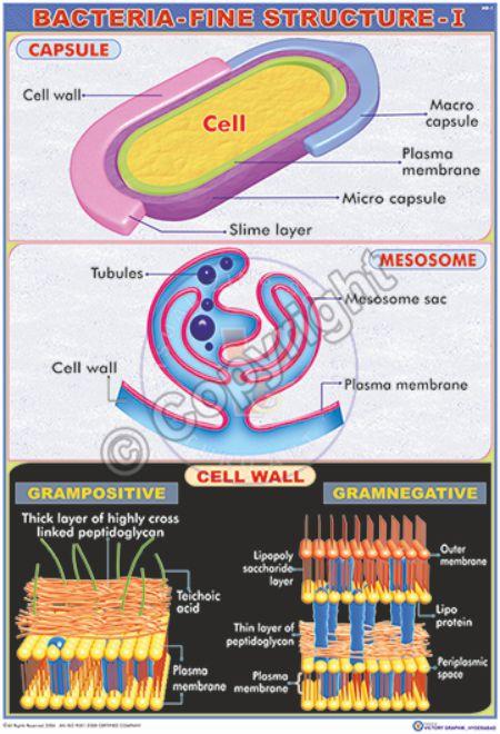 MB-1_Bacteria - CC