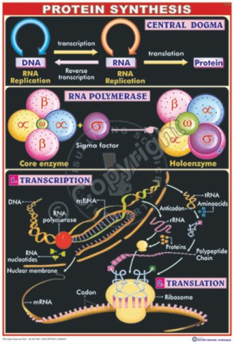 MB-24_Protein Synthesis - CC