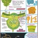 PH-11 Datura Leaf