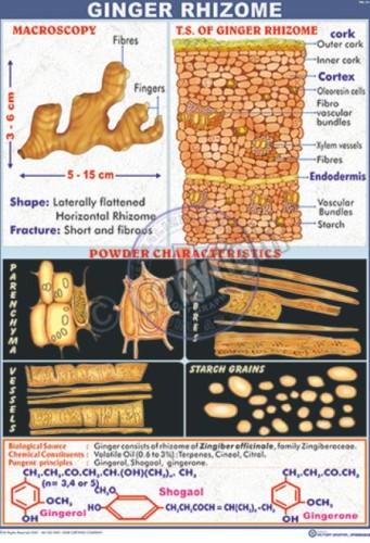 PH-14_Ginger rhizome - CC
