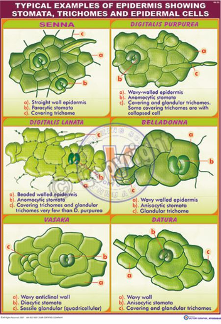 Victory Graphik | PH-25 Typical Examples of Epidermis