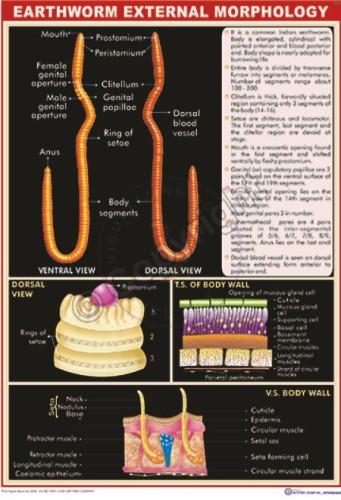 Z-10_Earthworm morphalogy Final - CC