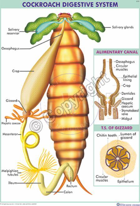 Z-14_Cockroach Digestive systom - Final - CC