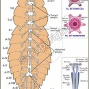Z-16 Cockroach Nervous System