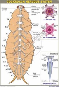 Z-16_Cockroach Nervous system - Final - CC