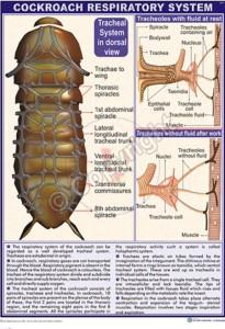 Z-17_cockroach Respiratory_CC