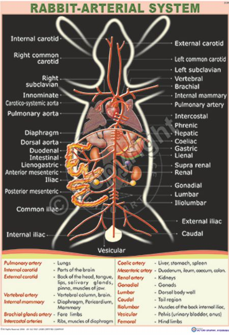 Z-24_Rabbit Arterial system - CC