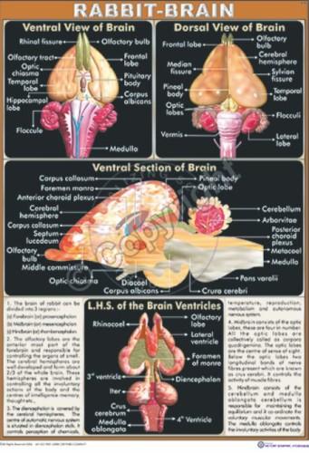 Z-25_Rabbit brain - CC