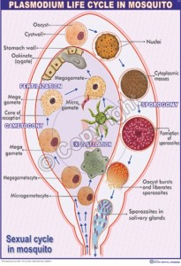 Z-3_Plasmodium life cycle in mosquito - CC