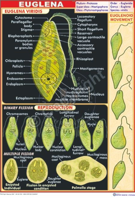 longitudinal binary fission in euglena