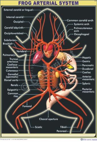 Z-54_Frog arterial system - CC