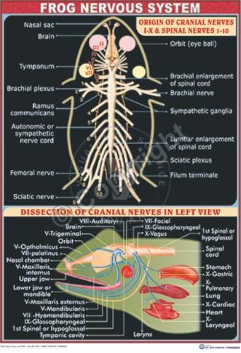 Z-56_Frog Nervous System - CC