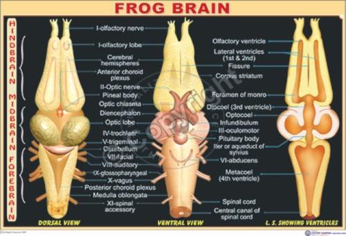 Z-57_Frog brain N