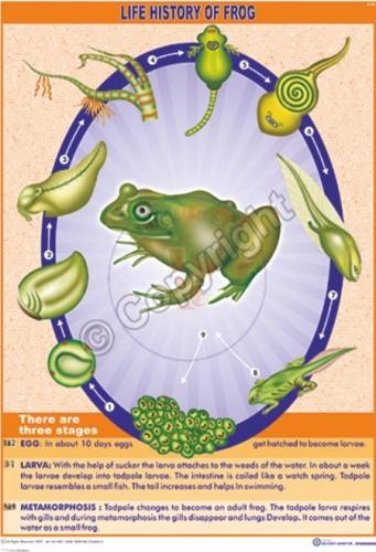 Z-60_frog - CC
