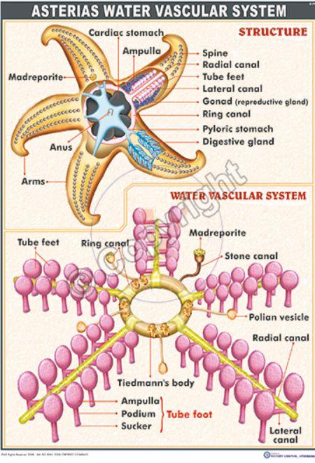 water vascular system in echinoderms pdf