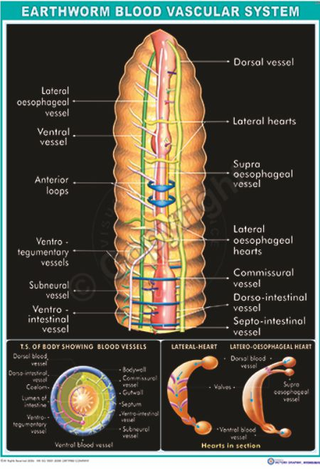 Z-7_Earthworm vascular- CC
