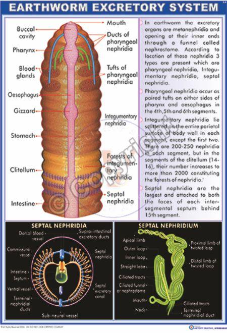 Z-9_Earthwrom excretory system - CC