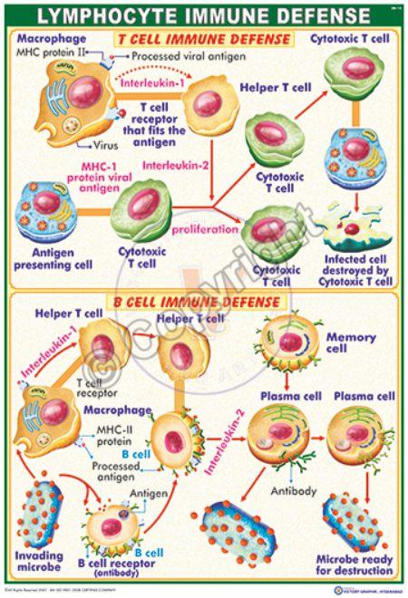 IM-14_Lymphocyte immune defense - CC