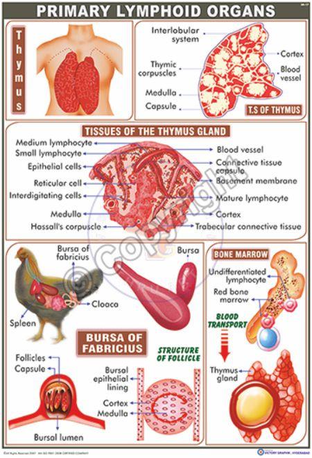 IM-17_Lymphoid Organs - CC