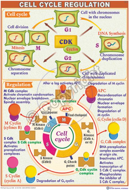 IM-20_Cell Cycle Regulation - CC